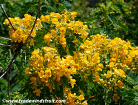 Cassia closiana - Golden Cassia
