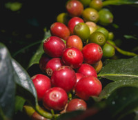 Coffea racemosa - Racemosa Coffee