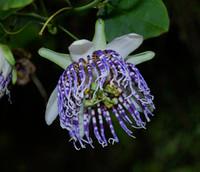 Passiflora actinia -