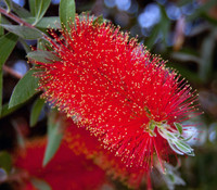 Callistemon citrinus - Lemon Bottlebrush