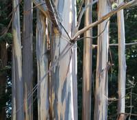 Eucalyptus globulus - Tasmanian Blue Gum
