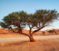 Acacia senegal - Gum Arabic