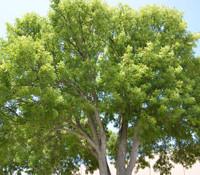 Swietenia mahogani - Brazilian Mahogany