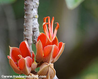 Chiranthrodendron pentadactylon - Mexican Hand Tree