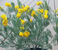 Cassia sturtii - Gray Desert Senna