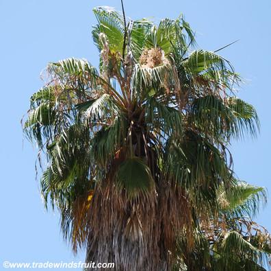 Washingtonia robusta - Mexican Fan Palm - Seeds