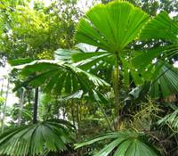 Licuala ramsayi - Australian Fan Palm