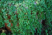 Mentha pulegium - Pennyroyal