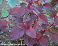 Asia Red Edible Amaranth