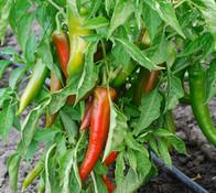 Espanhola Pepper