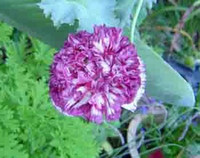 Papaver paeoniflorum - Flemish Antique Poppy