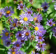 Aster oblongifolius - Aromatic Aster