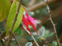 Fuchsia regia - Brazilian Fuchsia