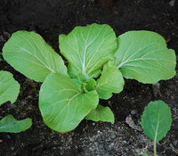 Round Leaf Small Chinese Cabbage
