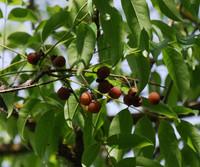 Sapindus saponaria - Soapberry