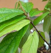 Theobroma grandiflorum - Cupuassu