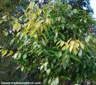 Cinnamomum cassia - Cassia Cinnamon