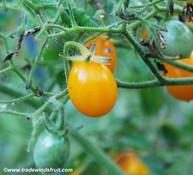 Golden Grape Tomato