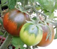 Black Pear Tomato