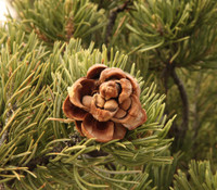 Pinus edulis - Pinyon Pine