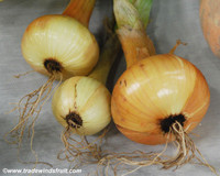 Jaune Paille de Vertus Onion