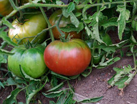 Black Mystery Tomato