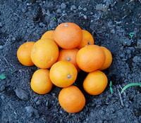 Citrus sudachi - Sudachi