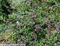Salvia mellifera - Black Sage