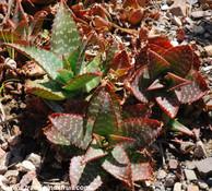 Aloe saponaria - Soap Aloe