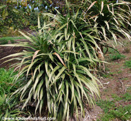 Dracaena aletriformis - Large Leafed Dragon Tree
