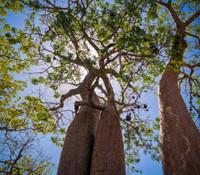 Adansonia fony - Baobab