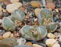 Lithops hallii - Living Stone