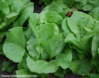Arctic King Butterhead Lettuce