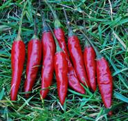 Purira Pepper