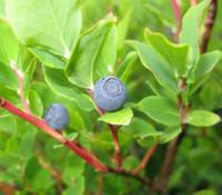 Vaccinium ovalifolium - Early Blueberry