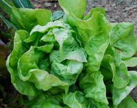 May Queen Lettuce