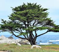 Cupressus macrocarpa - Monterey Cypress