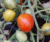 Fuzzy Wuzzy Tomato