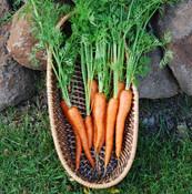 Ingot Carrot