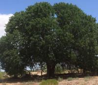 Pistacia atlantica - Mt. Atlas Mastic Tree