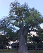 Adansonia madagascarensis - Baobab
