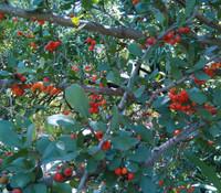 Ehretia rigida - Puzzle Bush