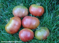 Black Master Tomato