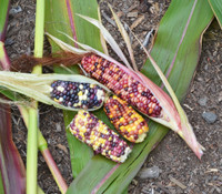 Wampum Corn