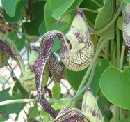 Aristolochia ringens - Gaping Dutchman's Pipe