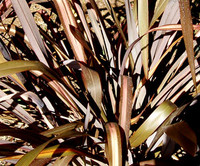 Phormium tenax 'Red' - Red New Zealand Flax