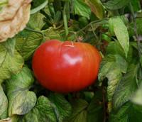 Aunt Ginny's Purple Tomato