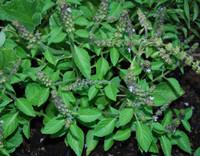 Ocimum basilicum - Basil, Spice