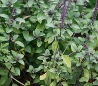 Ocimum basilicum - Basil, Siam Queen