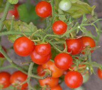 Sara's Galapagos Tomato
